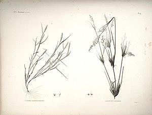 Panicum turgidum - Panicum turgidum (right plant)