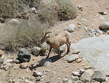 Mouflon Canadien Wikip 233 Dia