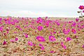 Desierto florido 2010.jpg