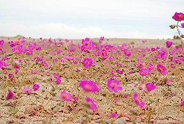Desierto florido 2010