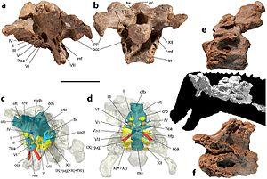 Diamantinasaurus - Referred neck vertebrae and skull of AODF 836