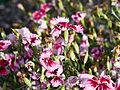 Dianthus chinensis-IMG 9237.jpg