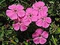 Dianthus sp. (36429848155).jpg
