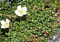 Diapensia lapponica (leaf).jpg