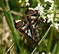 Didea fasciata (pair) - Flickr - S. Rae (2).jpg