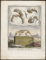 Didelphis murina - ingewanden en skelet - 1700-1880 - Print - Iconographia Zoologica - Special Collections University of Amsterdam - UBA01 IZ20300116.tif