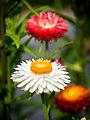 Die Strohblume, lat. Helichrysum bracteatum, Xerochrysum bracteatum, Bracteantha bracteata 22.jpg
