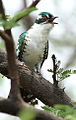 Diederik cuckoo, Chrysococcyx caprius, at Pilanesberg National Park, South Africa (15816308518).jpg