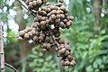 Different Fruits in Botanical Garden & Eco-Park, Sitakunda, Chittagong, Bangladesh.jpg