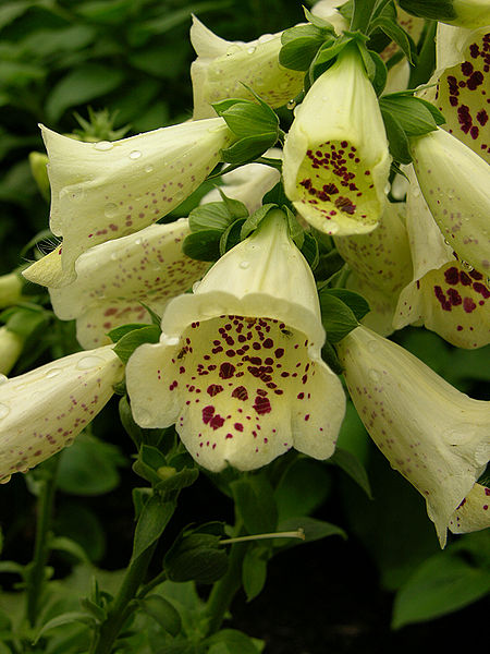 File:Digitalis purpurea 'Primrose Carousel' Flower Closeup 1200px.jpg
