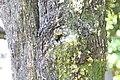 Diospyros blancoi 6zz.jpg