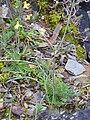 Diplotaxis tenuifolia Habitus 2010-3-21 SierraMadrona.jpg