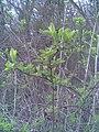 Dipsacales - Sambucus nigra - Transylvania 3.jpg