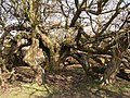 Disintegrating crab apple tree at Furzy Brow, New Forest - geograph.org.uk - 141960.jpg
