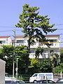 Distant View of Shimmei no Matsu (Pine Tree of Shimmei), Sone Midori Ward Nagoya 2020.jpg
