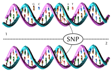 Dna-SNP.svg