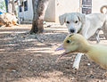 Dog and duck.jpg