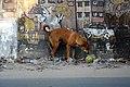 Dog at Prabartak More (01).jpg