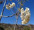 Dombeya rotundifolia - Montes Nairucu (9549180302).jpg