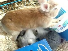 Fil:Domestic-rabbit-kanela-breastfeeding.ogv