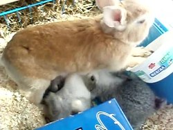 Bestand:Domestic-rabbit-kanela-breastfeeding.ogv