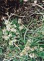 Draba monoensis morefield inyo lg.jpg