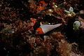 Dragonet and young Parrotfish.jpg