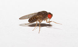 Drosophila hydei larger fruitflies for small frogs.jpg
