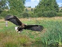 Największy ptak występujący w Polsce