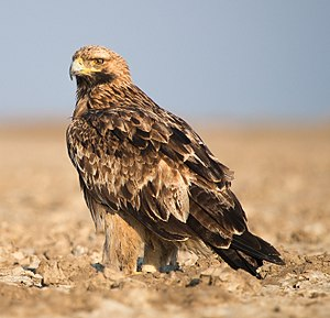 Eastern imperial eagle - Juvenile moulting into adult plumage at the Little Rann of Kutch