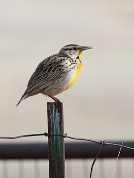 Eastern Meadowlark.jpg