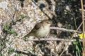 Eastern Olivaceous Warbler (Iduna pallida) (8079434032).jpg