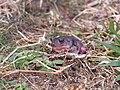 Eastern Spadefoot Toad (4679141004).jpg