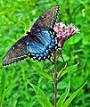 Eastern Tiger Swallowtail (Papilio glaucus) (6016411244).jpg