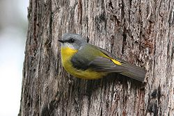 Eastern Yellow Robin 2.jpg