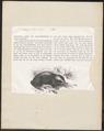 Echidna aculeata - 1872 - Print - Iconographia Zoologica - Special Collections University of Amsterdam - UBA01 IZ20300202.tif