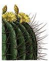 Echinocactus platyacanthus BlKakteenT22.jpg
