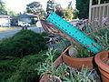 Echinopsis cactus 03.JPG
