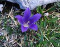 Edraianthus graminifolius PID1418-7.jpg