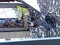 Eichhörnchen besucht mein Vogelhaus.JPG