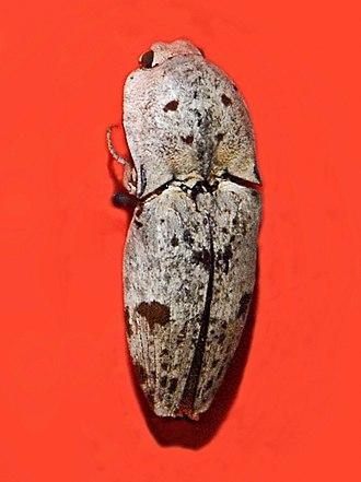 Alaus - Museum specimen of Alaus lacteus