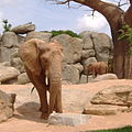 Elefante Bioparc Valencia.JPG