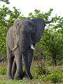 Elephant Bull (Loxodonta africana) (11567513716).jpg