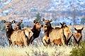 Elk (15878617877).jpg