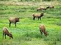 Elk Herd in Oregon in The Pacific Northwest 2.jpg