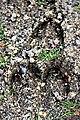 Em - Cervus elaphus elaphus hoofprint - 2.jpg