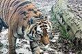 Em - Panthera tigris altaica 6.jpg