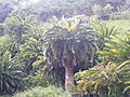 Encephalartos woodii (1).jpg
