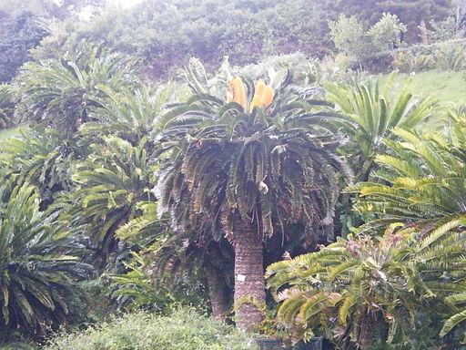 Encephalartos woodii (1)