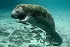 Endangered Florida manatee (Trichechus manatus) (7636814558).jpg